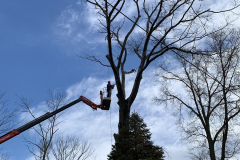 North Wales Tree Removal  1