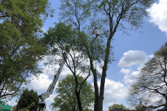 Tree Removal Near Me - Blue Bell Hollow Maple 2
