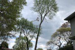 Tree Removal Near Me - Blue Bell Hollow Maple 3