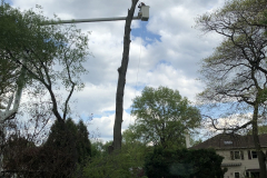 Tree Removal Near Me - Blue Bell Hollow Maple 4