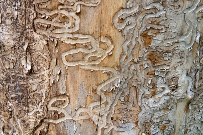 emerald ash borer prevention