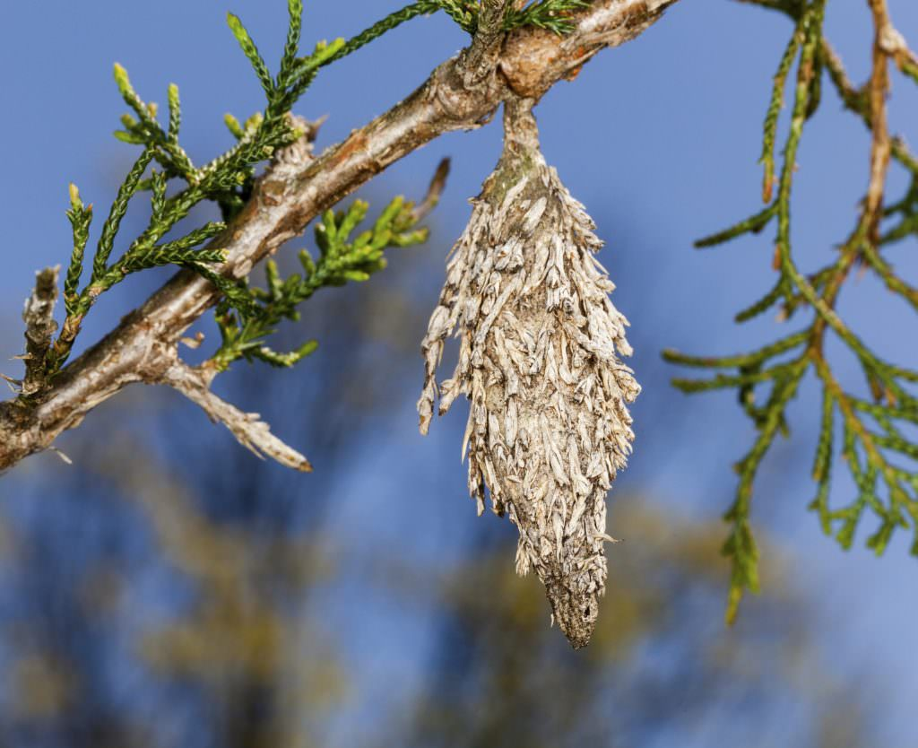 Bagworms - shrub & tree pests in PA