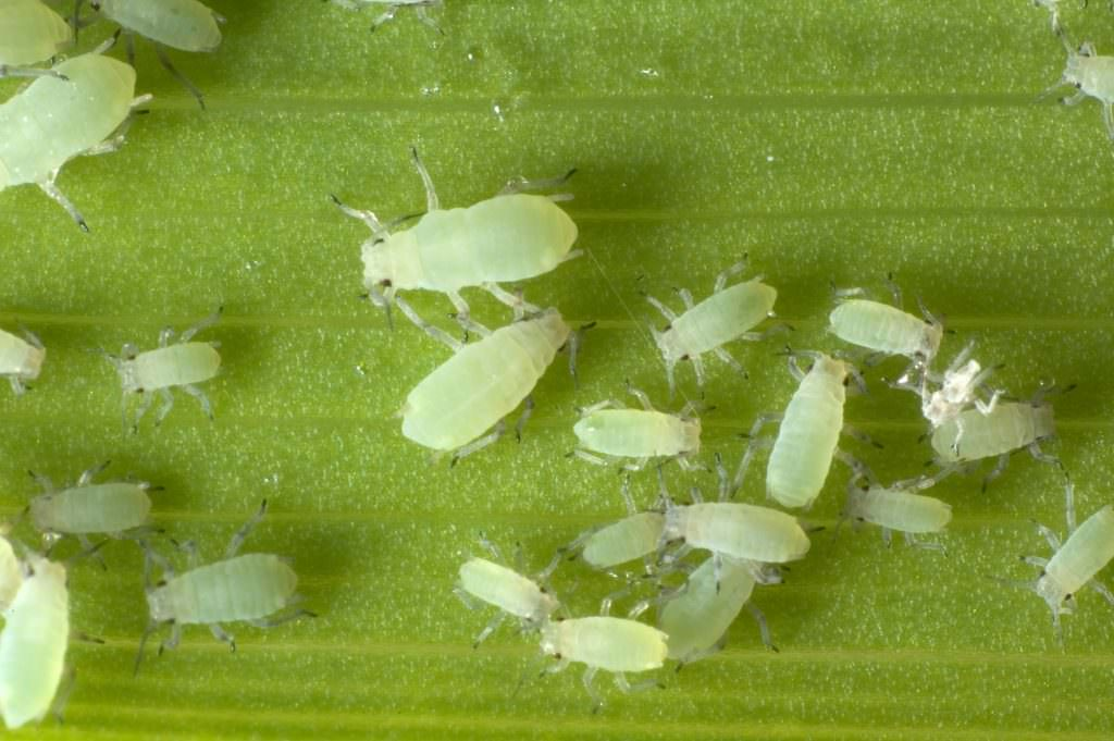Shrub and Tree Pests - Aphids