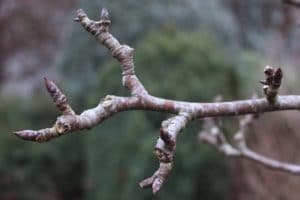 No Leaf Buds - removing dead branches