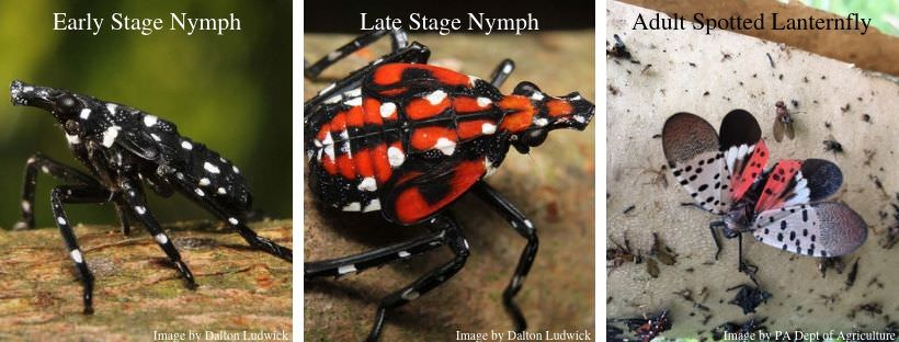 Spotted Lanternfly stages